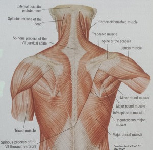 Neck Muscles Back