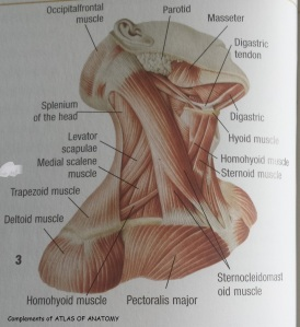 neck muscles front